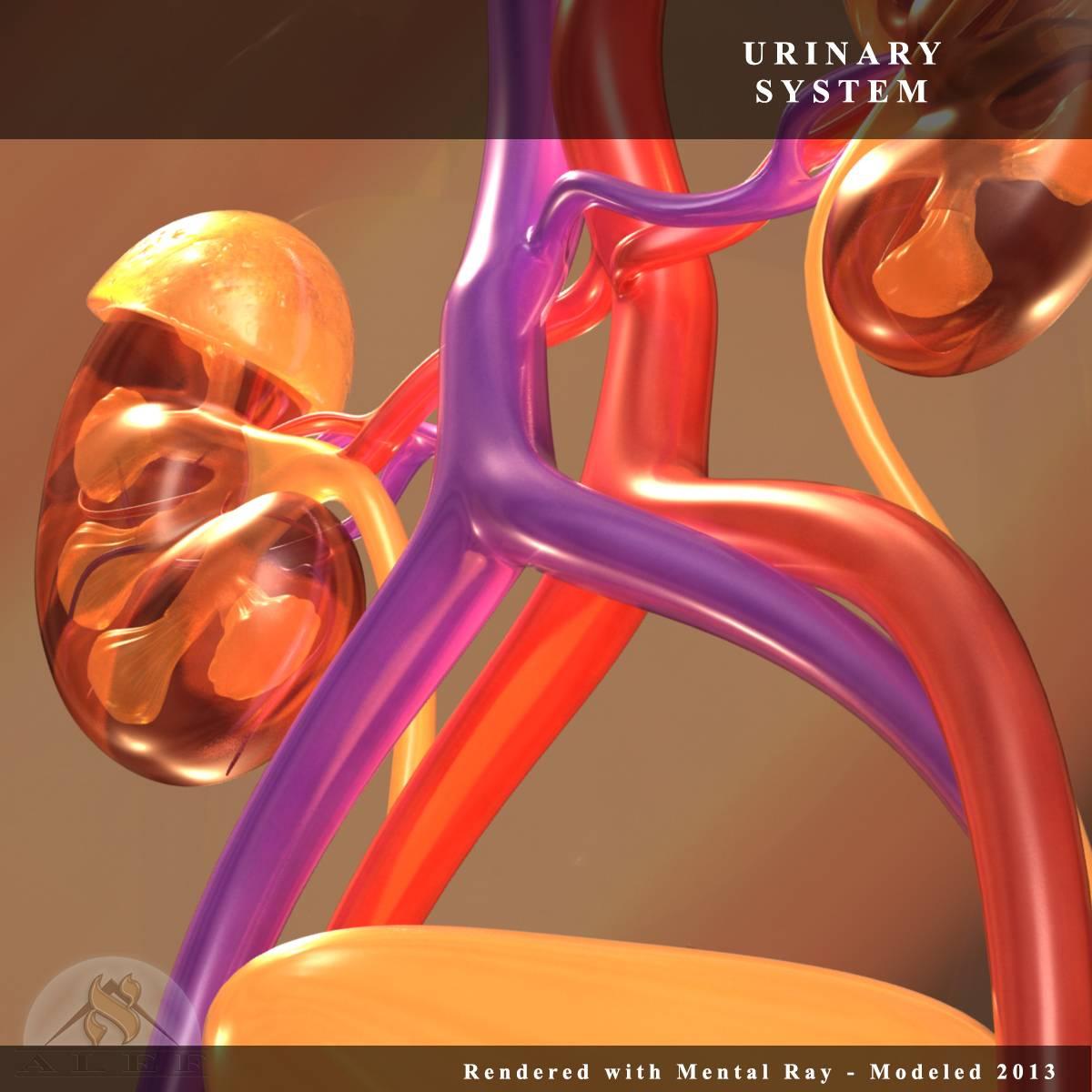 Urinary-System-4