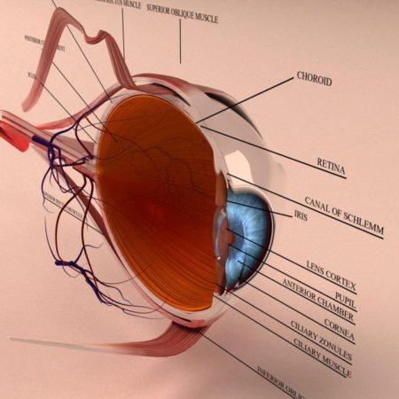 Anatomy Human Eye Cross Section 3d Model