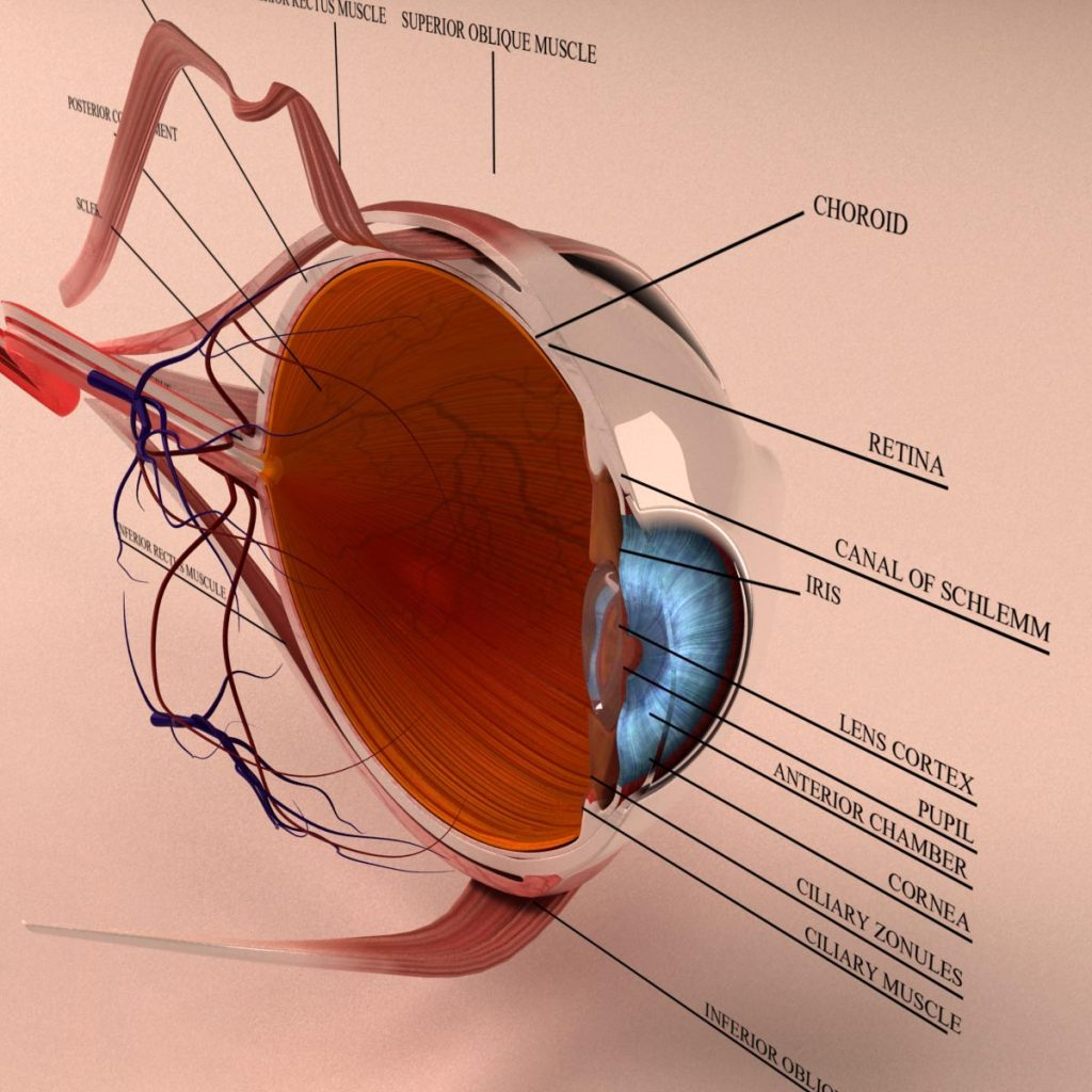 Anatomy Human Eye Cross Section 3d Model