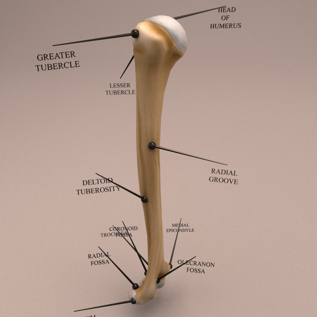 Humerus_Textured_turn-0005
