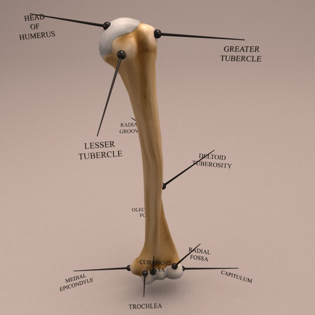 Humerus_Textured_turn-0018