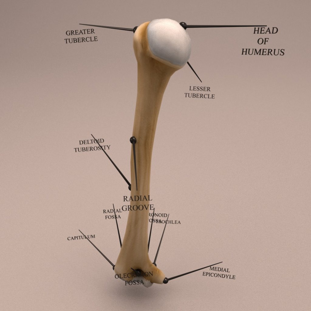 Humerus_Textured_turn-0034