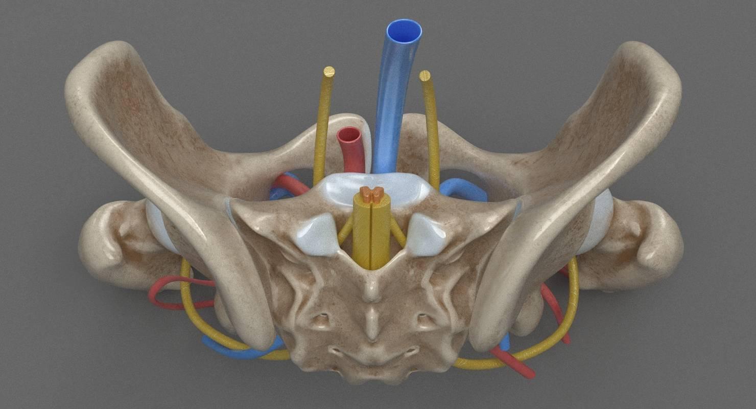 Human Anatomy - Female Pelvis