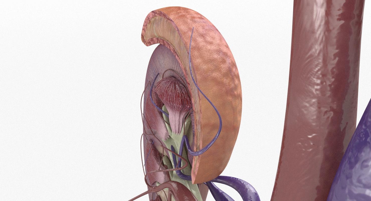 Kidney Gland Section